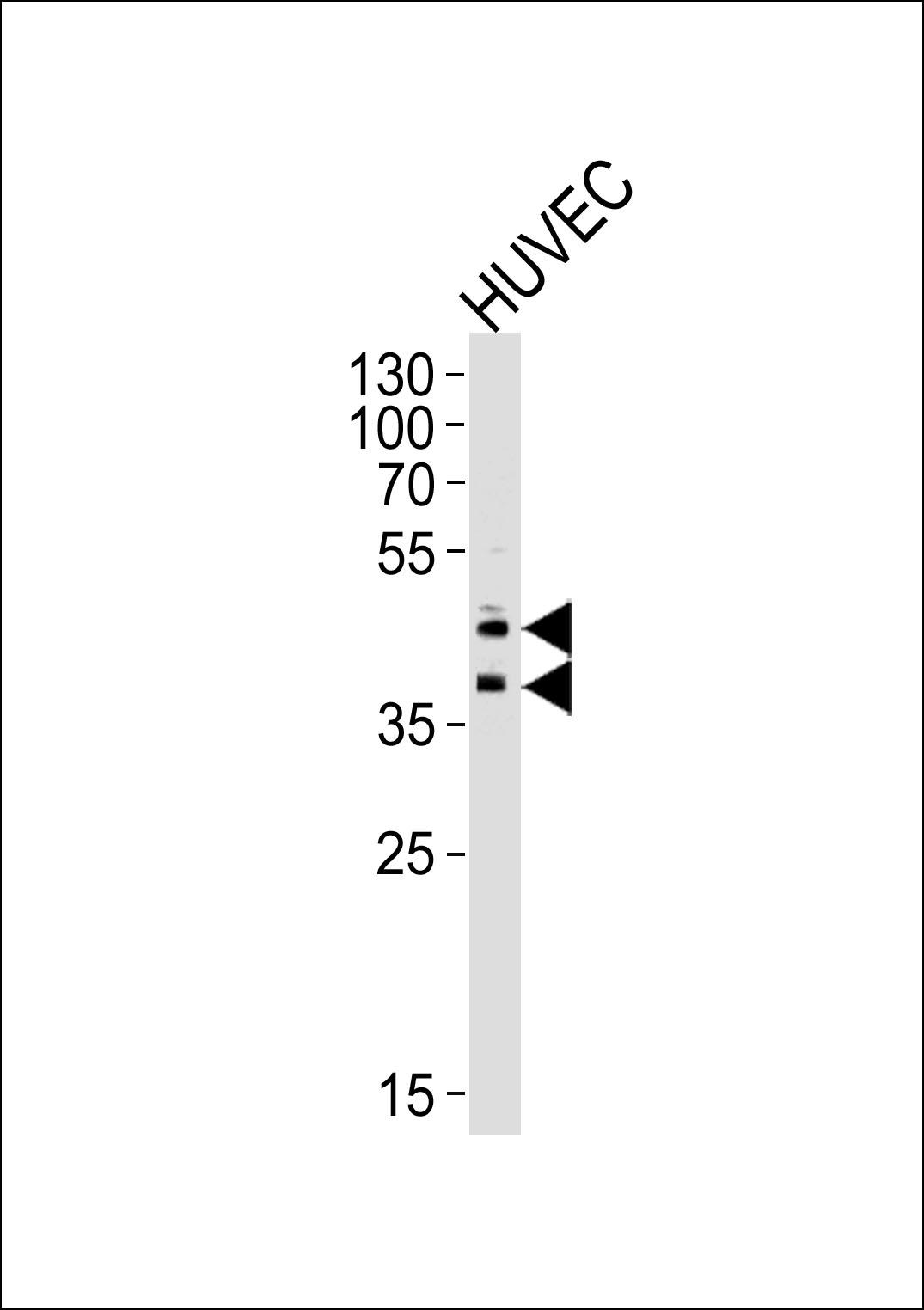 CD34 (132CT29.1.5) Monoclonal Antibody