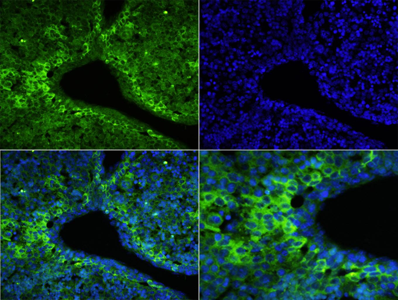 CD64/IGFR1 Polyclonal Antibody, FITC Conjugated