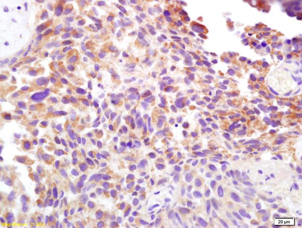 Syndecan 1 Polyclonal Antibody