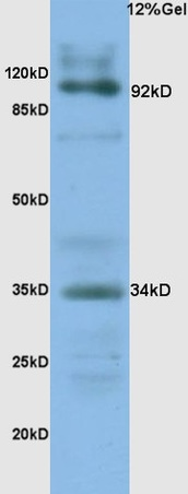 Syndecan 1 Polyclonal Antibody