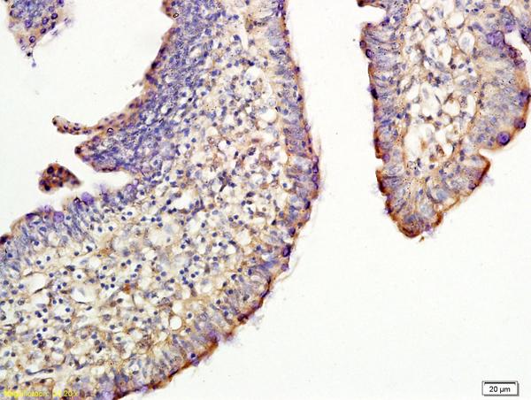CD44 Polyclonal Antibody