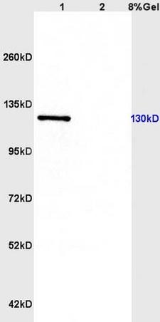 CD163/M130 Polyclonal Antibody