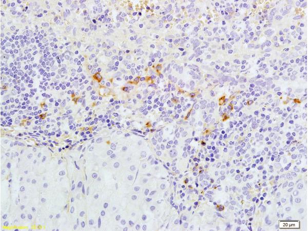 Caspase 3 Polyclonal Antibody
