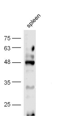 Mouse spleen lysate probed with Anti-CREB-1(Ser133) Polyclonal Antibody (bs-0036R) at 1:300 overnight in 4\u02daC. Followed by conjugation to the secondary antibody (bs-0295G-HRP) at 1:5000 90min in 37\u02daC.