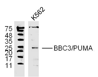 K562 lysates probed with PUMA Polyclonal Antibody, unconjugated (bs-1573R) at 1:300 overnight at 4\u00b0C followed by a conjugated secondary antibody at 1:10000 for 60 minutes at 37\u00b0C.