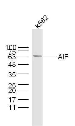 K562 lysates probed with AIF Polyclonal Antibody, unconjugated (bs-0037R) at 1:300 overnight at 4°C followed by a conjugated secondary antibody at 1:10000 for 60 minutes at 37°C.