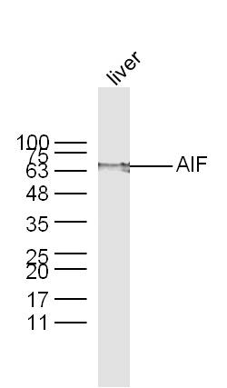 Mouse Liver lysates probed with AIF Polyclonal Antibody, unconjugated (bs-0037R) at 1:300 overnight at 4\u00b0C followed by a conjugated secondary antibody at 1:10000 for 60 minutes at 37\u00b0C.