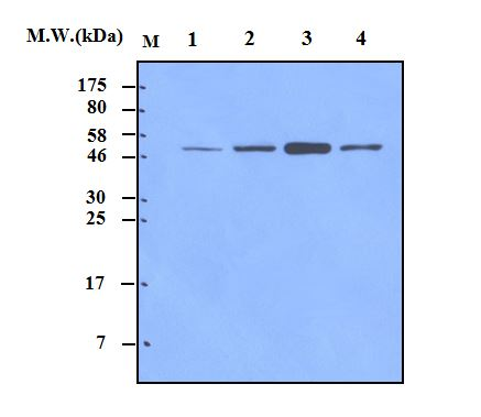 Lane 1 : HeLa Cell Lysate; Lane 2 : 293T Cell Lysate; Lane 3 : C6 Cell Lysate; Lane 4 : NIH3T3 Cell Lysate probed with alpha Tubulin (4G1) Monoclonal Antibody, unconjugated (bsm-50180M) at 1:2000 overnight at 4\u00b0C followed by a conjugated secondary antibody at 1:5000 for 60 minutes at room temperature.