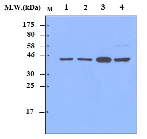 Lane 1 : HeLa Cell Lysate;\r\nLane 2 : A431 Cell Lysate;\r\nLane 3 : PC12 Cell Lysate;\r\nLane 4 : NIH3T3 Cell Lysate; probed with MEK1 (32G3)\u00a0Monoclonal Antibody, unconjugated (bsm-50303M) at 1:5000 overnight at 4\u00b0C followed by a conjugated secondary antibody at 1:5000 for 60 minutes at Room Temperature.