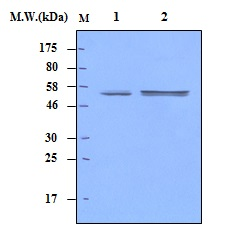 Lane 1 : K562 Cell Lysate; Lane 2 : Raji Cell Lysate; probed with Lyn (11A7)\u00a0Monoclonal Antibody, unconjugated (bsm-50313M) at 1:500 overnight at 4\u00b0C followed by a conjugated secondary antibody at 1:5000 for 60 minutes at Room Temperature.
