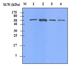 Lane 1 : HeLa Cell Lysate; Lane 2 : Jurkat Cell Lysate; Lane 3 : A431 Cell Lysate; Lane 4 : K562 Cell Lysate; probed with Chk2 (Checkpoint kinase 2) (20A8)\u00a0Monoclonal Antibody, unconjugated (bsm-50320M) at 1:10000 overnight at 4\u00b0C followed by a conjugated secondary antibody at 1:5000 for 60 minutes at Room Temperature.
