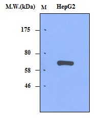 HepG2 Cell lysates probed with AFP (α-fetoprotein) (3B1)  Monoclonal Antibody, unconjugated (bsm-50334M) at 1:250 overnight at 4°C followed by a conjugated secondary antibody at 1:5000 for 60 minutes at Room Temperature.