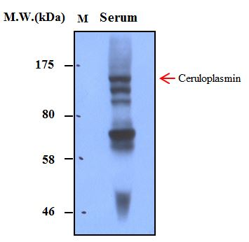 Human Serum (1.0uL) probed with bsm-50216M Ceruloplasmin (3B11) Monoclonal Antibody at 1.0ug\/mL (1:1000) and incubated at 4\u2103 overnight, followed by secondary antibody incubation for 60min at room temperature.