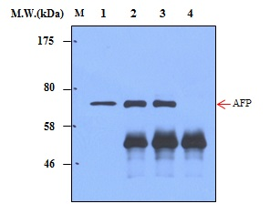 Immunoprecipitation of AFP (α-fetoprotein) from HepG2 cell lysates using AFP (α-fetoprotein) (3B1)  Monoclonal Antibody (bsm-50334M): Lane 1 : HepG2 Cell Lysate; Lane 2 : Precipitated from 200ug of Cell Lysate using 2ug of antibody; Lane 3 : Precipitated from 200ug of Cell Lysate using 5ug of antibody; Lane 4 : Precipitated from PBS using 5ug of antibody. WB analysis was performed using bsm-50334M at 4.0ug/mL (1:250) and incubated at 4℃ overnight, followed secondary antibody incubation for 60min at  Room Temperature.