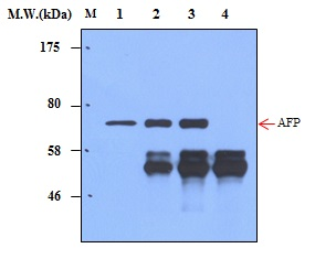 Immunoprecipitation of AFP (α-fetoprotein) from HepG2 cell lysates using AFP (α-fetoprotein) (8H2)  Monoclonal Antibody (bsm-50335M): Lane 1 : HepG2 Cell Lysate; Lane 2 : Precipitated from 200ug of Cell Lysate using 2ug of antibody; Lane 3 : Precipitated from 200ug of Cell Lysate using 5ug of antibody; Lane 4 : Precipitated from PBS using 5ug of antibody. WB analysis was performed using bsm-50334M at 4.0ug/mL (1:250) and incubated at 4℃ overnight, followed secondary antibody incubation for 60min at  Room Temperature.