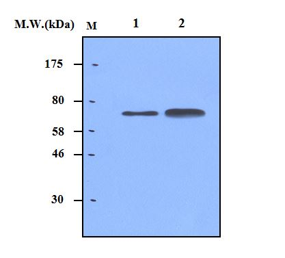 Lane 1 : Human Serum (0.5uL); Lane 2 : Human Serum (1.0uL); probed with bsm-50242M A1BG (54B12) Monoclonal Antibody at  0.5ug/mL (1:2000) and incubated at 4℃ overnight, followed by secondary antibody incubation for 60min at room temperature.