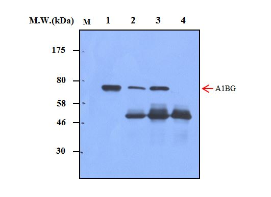 Immunoprecipitation of A1BG from human serum using A1BG (54B12) Monoclonal Antibody (bsm-50242M). Lane 1: Human Serum (0.5uL); Lane 2: Precipitated from Human Serum (1uL) using 2ug of antibody; Lane 3: Precipitated from Human Serum (1uL) using 5ug of antibody; Lane 4: Precipitated from PBS using 5ug of antibody. WB analysis was performed using bsm-50242M at 0.5ug/mL (1:2000) and incubated at 4℃ overnight, followed by secondary antibody incubation for 60min at room temperature.