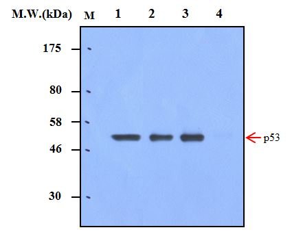 Immunoprecipitation of p53 from 293T cells using p53 (2C1) Monoclonal Antibody (bsm-50362M). Lane 1 : 293T Cell Lysate; Lane 2 : Precipitated from 293T Cell Lysate (200ug) using 2ug of antibody; Lane 3 : Precipitated from 293T Cell Lysate (200ug) using 5ug of antibody; Lane 4 : Precipitated from PBS using 5ug of antibody. WB analysis was performed using bsm-50362M at 0.5ug\/mL (1:2000) and incubated at 4\u2103 overnight, followed by secondary antibody incubation for 60min at room temperature.