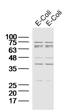 Lane 1: E.coli lysates; Lane 2:  E.coli lysates; Probed with E.coli DH-5 Alpha Polyclonal Antibody, Unconjugated (bs-2033R) at 1:300 overnight at 4\u02daC. Followed by a conjugated secondary antibody at 1:20000 for 60 min at 37\u02daC.