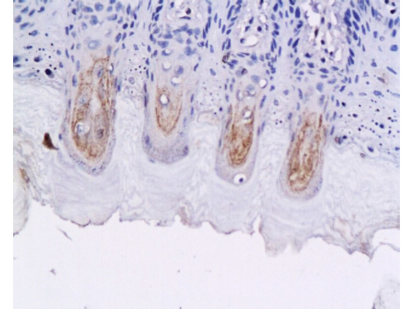 Formalin-fixed and paraffin embedded fungiform papillae of rat tongue labeled with Anti-GLP-1 (7-36) Polyclonal Antibody, Unconjugated(bs-0038R) 1:200 followed by conjugation to the secondary antibody and DAB staining