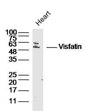 Lane 1: Mouse heart lysates probed with PBEF1 Polyclonal Antibody, Unconjugated (bs-0272R) at 1:300 overnight at 4˚C. Followed by a conjugated secondary antibody  at 1:5000 for 90 min at 37˚C.