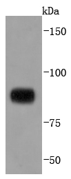 Daudi cell lysate probed with STAT4 (4E5) Monoclonal Antibody, Unconjugated (bsm-52236R) at 1:1000 overnight at 4\u02daC. Followed by a conjugated secondary antibody.