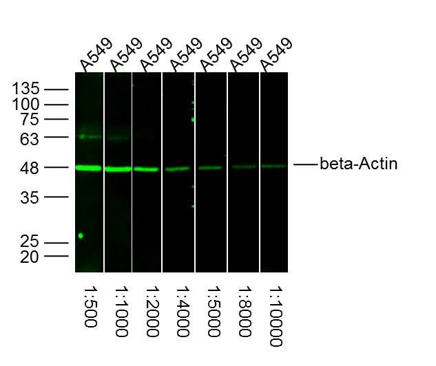 A549 lysates (30ug) probed with different dilutions of beta Actin Polyclonal Antibody (bs-0061R), from 1:500-10,000 dilution and incubated overnight at 4\u02daC. Followed by IRDye800CW Goat Anti-Rabbit IgG at 1\/20000 dilution and 60 min incubation at 37\u02daC.