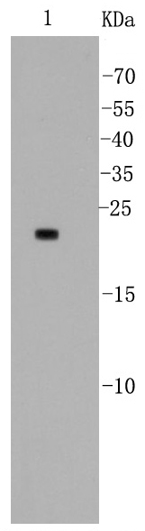 Lane 1: MCF-7 lysates probed with Bad (5D4) Monoclonal Antibody (bsm-52020R) at 1:500.