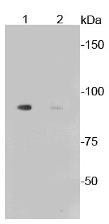 Lane 1: Aphidicolin treated Mouse liver lysates; Lane 2: Untreated Mouse Liver lysates probed with Glycogen synthase 1(S641) (10C1) Monoclonal Antibody (bsm-52159R) at 1:1000.