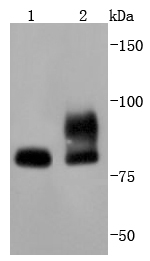 Lane 1: 293 lysates; Lane 2: NIH/3T3 lysates probed with STAT1 (9H8) Monoclonal Antibody (bsm-52232R) at 1:1000 overnight at 4˚C. Followed by a conjugated secondary antibody  .