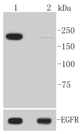 Lane 1: EGF treated A431 lysates; Lane 2: Untreated A431 lysates probed with EGFR(Y1092) (1F1 ) Monoclonal Antibody (bsm-52150R) at 1:1000 overnight at 4\u02daC. Followed by a conjugated secondary antibody.