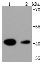 Lane 1: Hela; Lane 2: K562 lysate probed with HDAC8 (4C3) Monoclonal Antibody (bsm-52088R) at 1:1000 overnight at 4\u02daC. Followed by a conjugated secondary antibody.