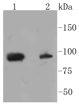 Lane 1: HeLa lysates; Lane 2: NIH\/3T3 lysates; probed with STAT3(S727) (4G1 ) Monoclonal Antibody (bsm-52210R) at 1:1000 overnight at 4\u02daC. Followed by a conjugated secondary antibody.