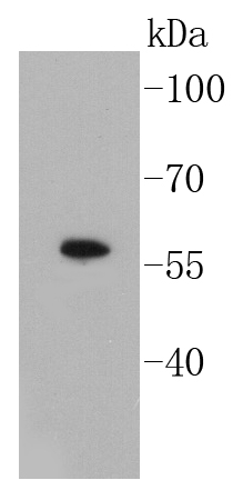 Lane 1: A549 Cell lysates; probed with Smad3 (3D1) Monoclonal Antibody (bsm-52224R) at 1:1000 overnight at 4\u02daC. Followed by a conjugated secondary antibody.
