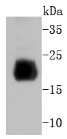 Mouse spleen lysate probed with Histone H4 (2G2) Monoclonal Antibody (bsm-52111R) at 1:1000 overnight at 4\u02daC. Followed by a conjugated secondary antibody .