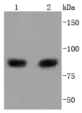 Lane 1: MCF-7; Lane 2: Raji lysate probed with PI 3 Kinase p85 alpha (2G4) Monoclonal Antibody (bsm-52216R) at 1:1000 overnight at 4\u02daC. Followed by a conjugated secondary antibody .