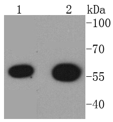 Lane 1: 293T Cell lysates; Lane 2: K562 lysates; probed with HDAC2 (3B7) Monoclonal Antibody (bsm-52082R) at 1:1000 overnight at 4\u02daC. Followed by a conjugated secondary antibody.