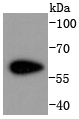 NIH\/3T2 cell lysates probed with Cdk8 (4A4) Monoclonal Antibody (bsm-52032R) at 1:1000 overnight at 4\u02daC. Followed by a conjugated secondary antibody.