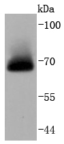 HeLa cell lysates probed with A-RAF (24D1) Monoclonal Antibody (bsm-52015R) at 1:1000 overnight at 4\u02daC. Followed by a conjugated secondary antibody.