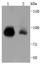 Lane 1: K562; Lane 2: Hela lysate probed with STAT5b (12A1) Monoclonal Antibody (bsm-52238R) at 1:1000 overnight at 4˚C. Followed by a conjugated secondary antibody.