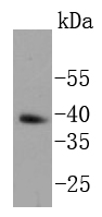 F9 cell lysates; probed with Nanog (1A11) Monoclonal Antibody (bsm-52124R) at 1:1000 overnight at 4\u02daC. Followed by a conjugated secondary antibody.
