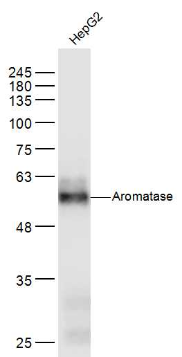 HepG2 lysates probed with Aromatase Polyclonal Antibody, Unconjugated (bs-0114M) at 1:300 dilution and 4\u02daC overnight incubation. Followed by conjugated secondary antibody incubation at 1:10000 for 60 min at 37\u02daC.