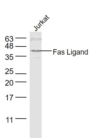 Jurkat lysates probed with Fas Ligand Polyclonal Antibody, Unconjugated (bs-0216R) at 1:1000 dilution and 4\u02daC overnight incubation. Followed by conjugated secondary antibody incubation at 1:10000 for 60 min at 37\u02daC.