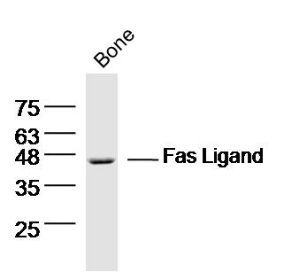 Bone lysates probed with Fas Ligand Polyclonal Antibody, Unconjugated (bs-0216R) at 1:300 dilution and 4\u02daC overnight incubation. Followed by conjugated secondary antibody incubation at 1:10000 for 60 min at 37\u02daC.