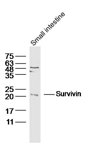 Mouse smail intestine lysates probed with Survivin Polyclonal Antibody, Unconjugated (bs-0615R) at 1:300 dilution and 4\u02daC overnight incubation. Followed by conjugated secondary antibody incubation at 1:10000 for 60 min at 37\u02daC.