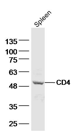 Mouse spleen lysates probed with CD4 Polyclonal Antibody, Unconjugated (bs-0766R) at 1:500 dilution and 4\u02daC overnight incubation. Followed by conjugated secondary antibody incubation at 1:10000 for 60 min at 37\u02daC.