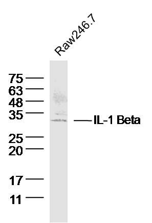 Raw264.7 lysates probed with IL-1 Beta Polyclonal Antibody, Unconjugated (bs-0812R) at 1:300 dilution and 4\u02daC overnight incubation. Followed by conjugated secondary antibody incubation at 1:10000 for 60 min at 37\u02daC.