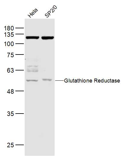 Lane 1: Hela lysates; Lane 2: Sp2\/0 lysates probed with Glutathione Reductase Polyclonal Antibody, Unconjugated (bs-0837R) at 1:1000 dilution and 4\u02daC overnight incubation. Followed by conjugated secondary antibody incubation at 1:10000 for 60 min at 37\u02daC.