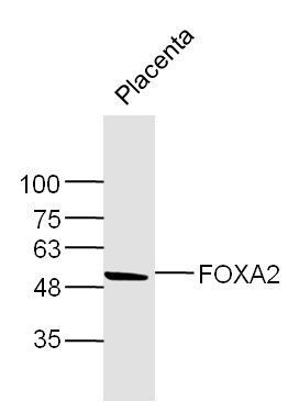 Mouse Placenta lysates probed with FOXA2 Polyclonal Antibody, Unconjugated (bs-2358R) at 1:300 dilution and 4\u02daC overnight incubation. Followed by conjugated secondary antibody incubation at 1:10000 for 60 min at 37\u02daC.