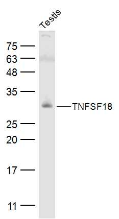 Mouse testis lysates probed with TNFSF18 Polyclonal Antibody, Unconjugated (bs-2456R) at 1:500 dilution and 4˚C overnight incubation. Followed by conjugated secondary antibody incubation at 1:10000 for 60 min at 37˚C.